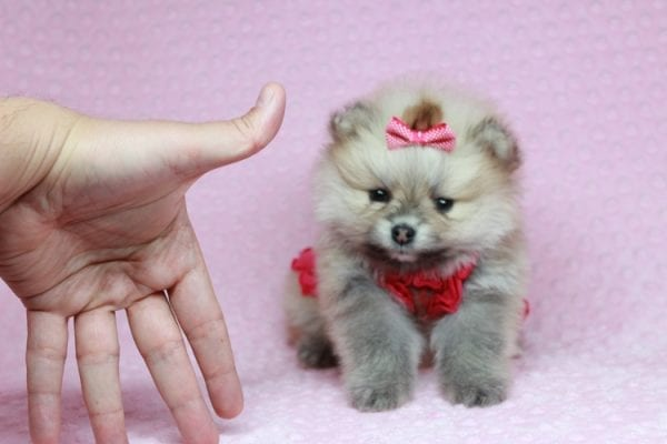 Baby Doll - Teacup Pomeranian Puppy has found a good loving home with Kamie from Arlington, WA 98223-28401