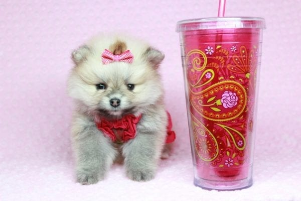 Baby Doll - Teacup Pomeranian Puppy has found a good loving home with Kamie from Arlington, WA 98223-0