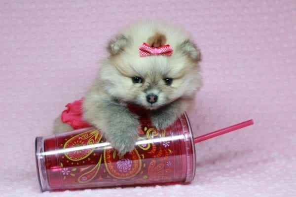 Baby Doll - Teacup Pomeranian Puppy has found a good loving home with Kamie from Arlington, WA 98223-28406