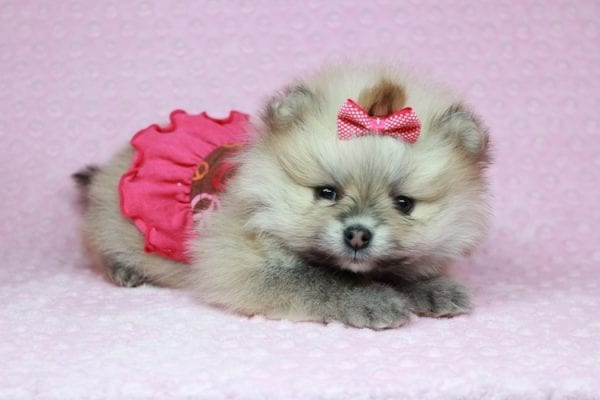 Baby Doll - Teacup Pomeranian Puppy has found a good loving home with Kamie from Arlington, WA 98223-28404