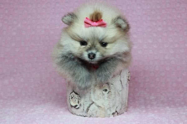 Baby Doll - Teacup Pomeranian Puppy has found a good loving home with Kamie from Arlington, WA 98223-28405