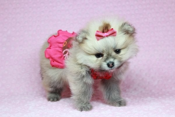 Baby Doll - Teacup Pomeranian Puppy has found a good loving home with Kamie from Arlington, WA 98223-28399