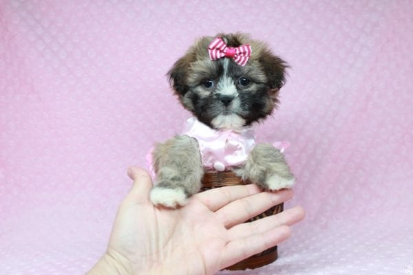 Booba - Teacup Malshi Puppy has found a good loving home with Ezell from Berkeley, CA 94703-28198
