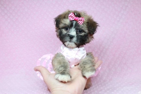 Booba - Teacup Malshi Puppy has found a good loving home with Ezell from Berkeley, CA 94703-28195