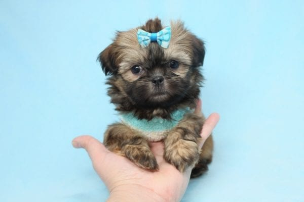 Bunny - Teacup Shih-Tzu Puppy has found a good loving home with Crystal from North Las Vegas, NV 89086-28326
