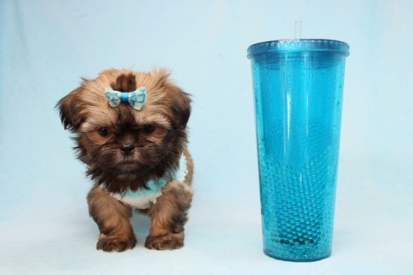 Bunny - Teacup Shih-Tzu Puppy has found a good loving home with Crystal from North Las Vegas, NV 89086-28327