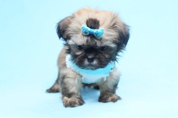 Bunny - Teacup Shih-Tzu Puppy has found a good loving home with Crystal from North Las Vegas, NV 89086-28323