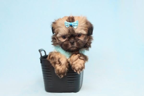 Bunny - Teacup Shih-Tzu Puppy has found a good loving home with Crystal from North Las Vegas, NV 89086-28328