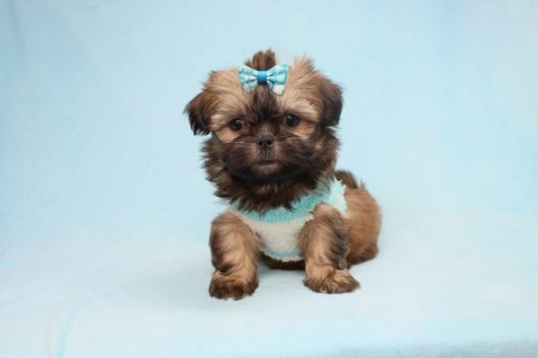 Bunny - Teacup Shih-Tzu Puppy has found a good loving home with Crystal from North Las Vegas, NV 89086-28324