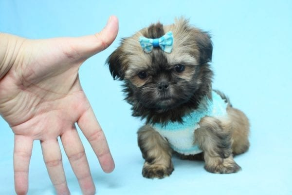 Bunny - Teacup Shih-Tzu Puppy has found a good loving home with Crystal from North Las Vegas, NV 89086-0