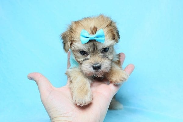 Boy With Luv - Teacup Morkie Puppy