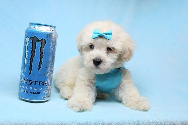 Bradley Cooper - Teacup Maltipoo Puppy has found a good loving home with Alan from Aliso Viejo, CA 92656-28647