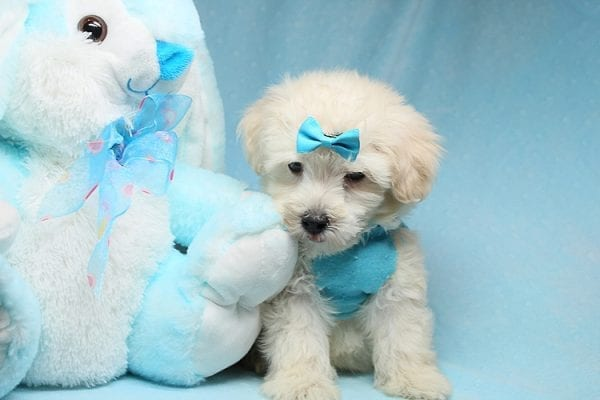 Bradley Cooper - Teacup Maltipoo Puppy has found a good loving home with Alan from Aliso Viejo, CA 92656-28653