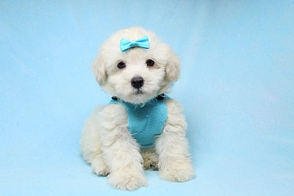 Bradley Cooper - Teacup Maltipoo Puppy has found a good loving home with Alan from Aliso Viejo, CA 92656-28648