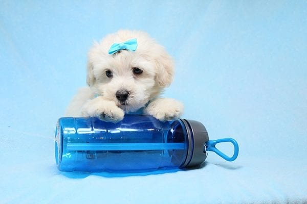 Bradley Cooper - Teacup Maltipoo Puppy has found a good loving home with Alan from Aliso Viejo, CA 92656-28649