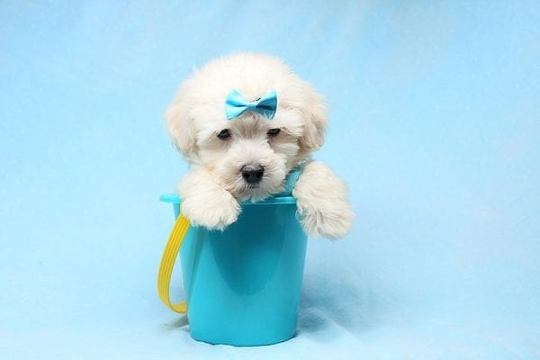 Bradley Cooper - Teacup Maltipoo Puppy has found a good loving home with Alan from Aliso Viejo, CA 92656-28651