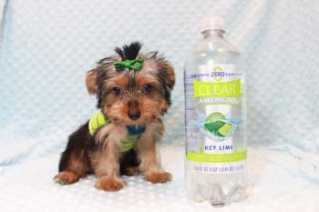Puppy Heaven teacup Yorkie
