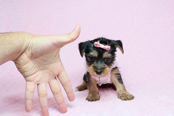 Bombshell - Teacup Yorkie Puppy in Los Angeles Las Vegas