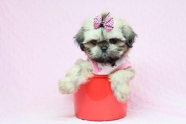 Euphoria - Teacup Shih Tzu Puppy in Los Angeles Las Vegas