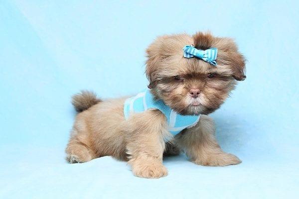 Jean Paul Gaultier - Teacup Shih Tzu Puppy in Los Angeles Las Vegas