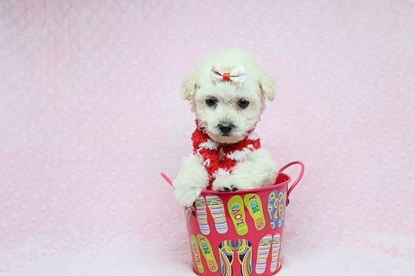 Lolita - Teacup Maltipoo puppy in Los Angeles Las Vegas