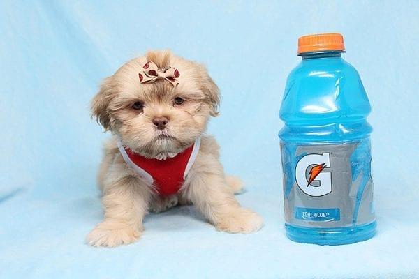 The One - Teacup Shih Tzu Puppy in Los Angeles Las Vegas