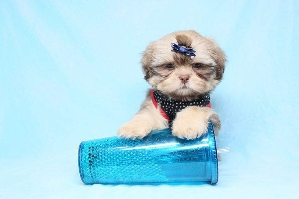 Van Cleef - Teacup Shih Tzu Puppy has found a good loving home with Judith from Pahrump, NV 89048-29069