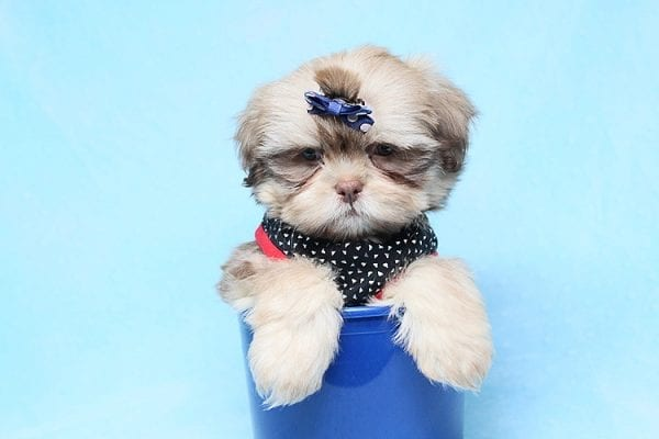 Van Cleef - Teacup Shih Tzu Puppy has found a good loving home with Judith from Pahrump, NV 89048-29072