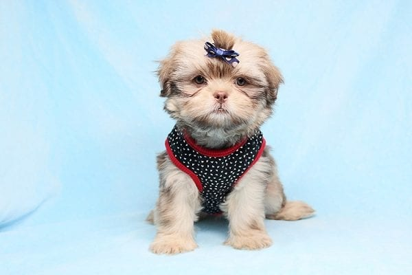 Van Cleef - Teacup Shih Tzu Puppy has found a good loving home with Judith from Pahrump, NV 89048-29063