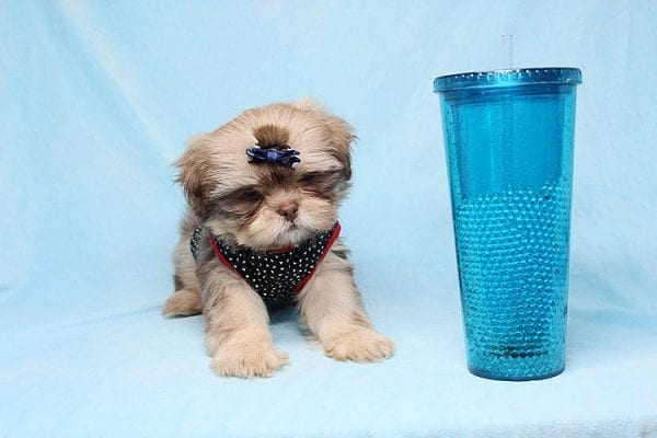 Van Cleef - Teacup Shih Tzu Puppy has found a good loving home with Judith from Pahrump, NV 89048-29064
