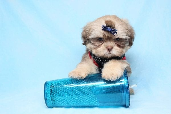Van Cleef - Teacup Shih Tzu Puppy has found a good loving home with Judith from Pahrump, NV 89048-0