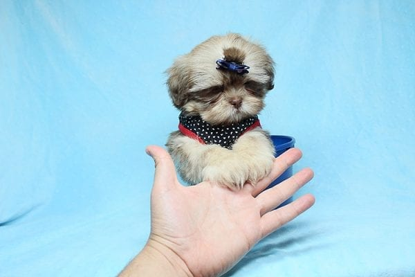 Van Cleef - Teacup Shih Tzu Puppy has found a good loving home with Judith from Pahrump, NV 89048-29066