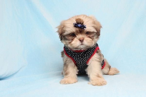 Van Cleef - Teacup Shih Tzu Puppy has found a good loving home with Judith from Pahrump, NV 89048-29067