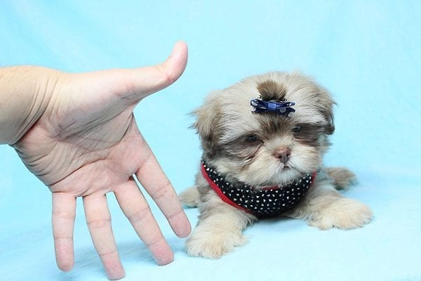 Van Cleef - Teacup Shih Tzu Puppy has found a good loving home with Judith from Pahrump, NV 89048-29070