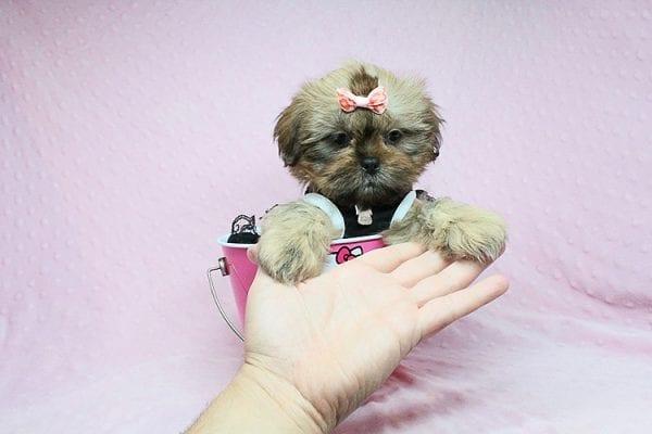 Viva La Juicy - Teacup Shih Tzu Puppy in Los Angeles Las V 8egas