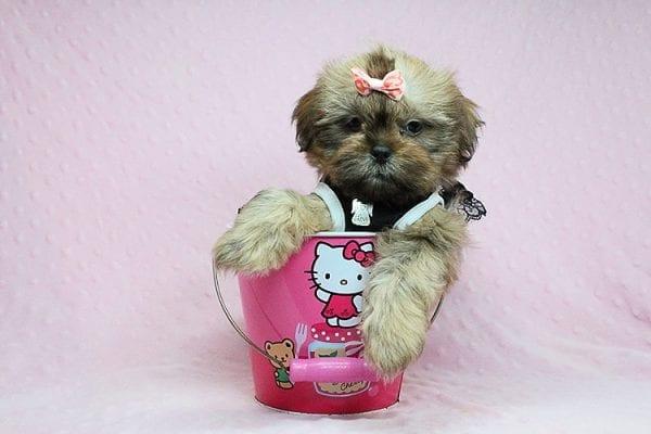 Viva La Juicy - Teacup Shih Tzu Puppy in Los Angeles Las Vegas