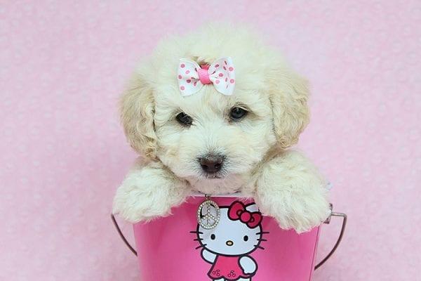 Ava - Toy Maltipoo puppy in Los Angeles Las Vegas