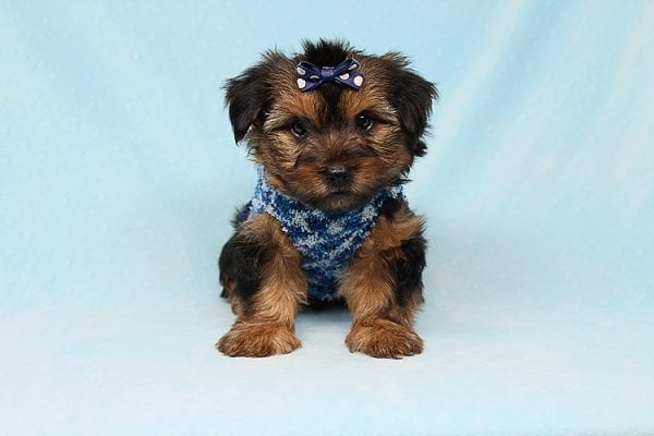 Baldwin - Toy Yorkie Puppy has found a good loving home with Gina from Valencia, CA 91354-29342