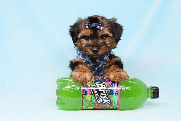 Baldwin - Toy Yorkie Puppy has found a good loving home with Gina from Valencia, CA 91354-0