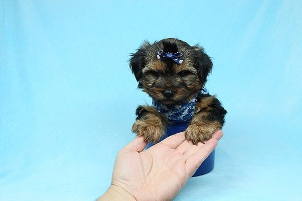 Baldwin - Toy Yorkie Puppy has found a good loving home with Gina from Valencia, CA 91354-29347