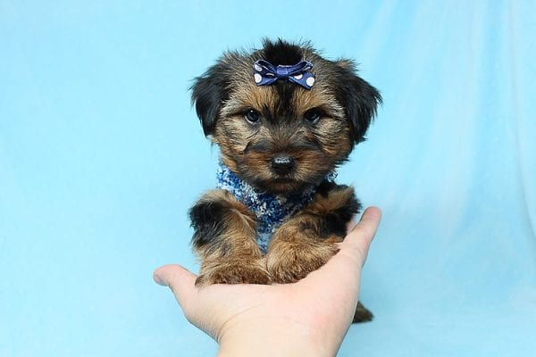 Baldwin - Toy Yorkie Puppy has found a good loving home with Gina from Valencia, CA 91354-29343