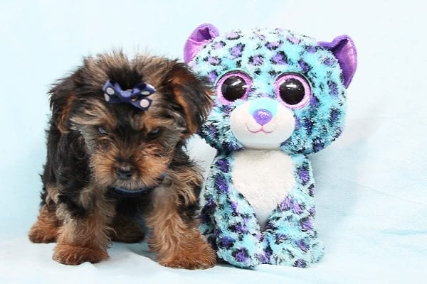 Baloo - Teacup Yorkie Puppy has found a good loving home with Orlando from Henderson, NV 89011-0
