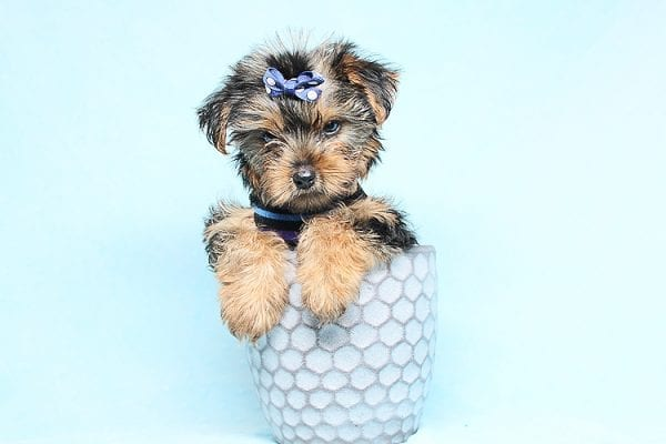 Baloo - Teacup Yorkie Puppy has found a good loving home with Orlando from Henderson, NV 89011-29894