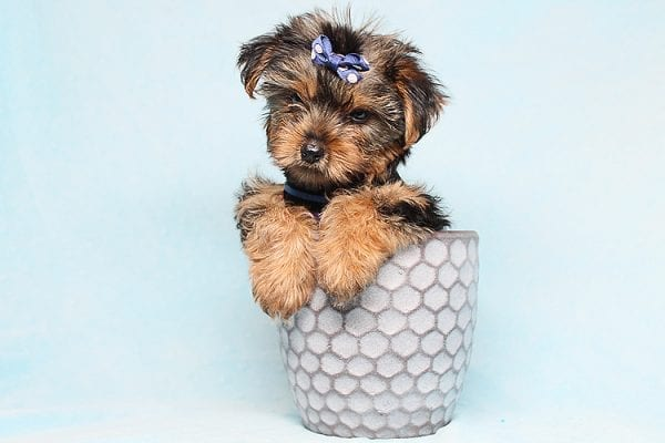 Baloo - Teacup Yorkie Puppy has found a good loving home with Orlando from Henderson, NV 89011-29896