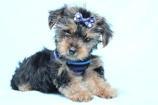 Baloo - Teacup Yorkie Puppy has found a good loving home with Orlando from Henderson, NV 89011-29892