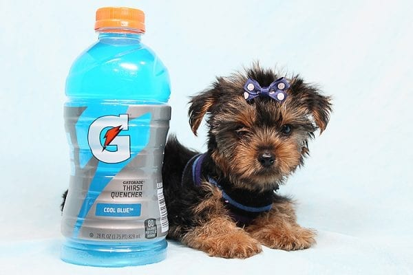Baloo - Teacup Yorkie Puppy has found a good loving home with Orlando from Henderson, NV 89011-29891