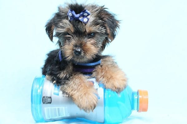 Baloo - Teacup Yorkie Puppy has found a good loving home with Orlando from Henderson, NV 89011-29893