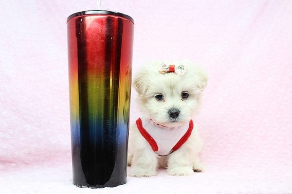 Candy - Teacup Maltipoo Puppy