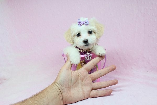 Captain Marvel - Teacup Maltipoo Puppy in Los Angeles Las Vegas