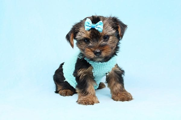 Cheese - Teacup Yorkie Puppy has found a good loving home with Efren from Norwalk, CA 90650-29366